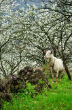 Goat and Blossoming garden Stock Photo