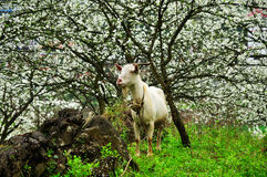 Goat and Blossoming garden Royalty Free Stock Image
