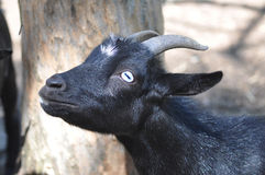 Goat with Blue Eyes Stock Images