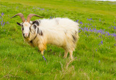 Goat in bluebell field Royalty Free Stock Images