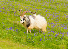 Goat in bluebell field Stock Photos