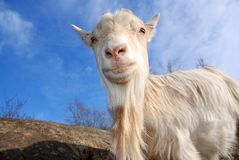 Goat boss Royalty Free Stock Photos