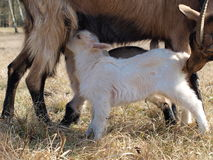 Goat breastfeed cubs Royalty Free Stock Photos