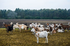 Goat breeding Stock Images