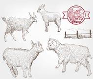 Goat breeding Royalty Free Stock Image