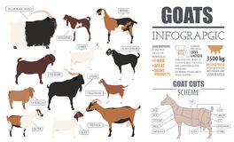Goat breeds infographic template. Animal farming. Flat design. Vector illustration Stock Image