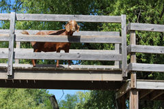 Goat on bridge Stock Image