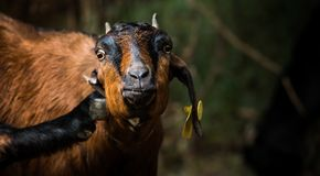 Goat brown in colour. The domestic goat is a subspecies of goat domesticated from the wild goat of southwest Asia and Eastern Europe Royalty Free Stock Photography