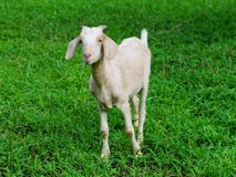 Goat. Brown females aged 6 months in the palm groves Stock Photos
