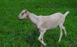 Goat. Brown females aged 6 months in the palm groves Stock Images