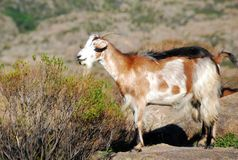 Goat in brown tones. And black back in the mountains of Cordoba Argentina royalty free stock images