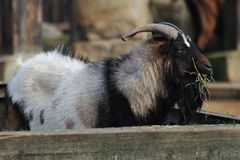 Goat buck is resting and eating. In the garden stock photos