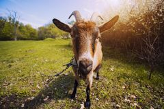 Goat with bunch of green lush grass on the summer meadow Royalty Free Stock Images