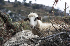 Goat in bushes - RAW format Stock Images