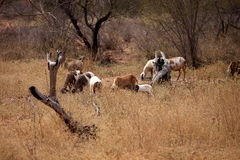 Goat in caatinga in Brazil Stock Photo