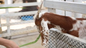 Goat in a cage eating grass stock footage
