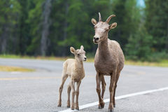 Goat in Canada Stock Photos