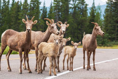 Goat in Canada Stock Images
