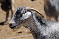 Goat on Canary Island Fuerteventura Stock Photos