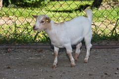 Goat - Capra Aegagrus Hircus Royalty Free Stock Photos
