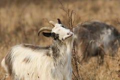 A Goat Capra aegagrus hircus grazing in rough pasture on a thorny bush. A beautiful Goat Capra aegagrus hircus grazing in rough pasture on a thorny bush Royalty Free Stock Image