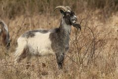 A Goat Capra aegagrus hircus grazing in rough pasture on a thorny bush. A stunning Goat Capra aegagrus hircus grazing in rough pasture on a thorny bush Royalty Free Stock Photos