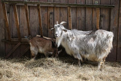 Goat (Capra hircus) Stock Photography