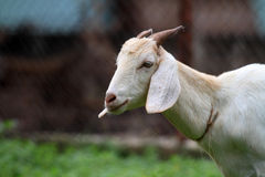 Goat in the cattle farm. Face of the goat in the cattle farm Royalty Free Stock Images
