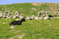 Goat. Cattle of goats and sheep herding in Jordan Stock Image
