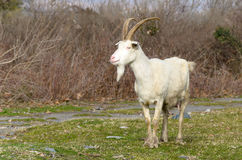 Goat of the Caucasus region Royalty Free Stock Photos
