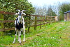 Goat chained to the fence Royalty Free Stock Images