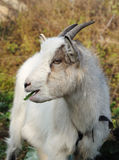 Goat Chewing Stock Photo