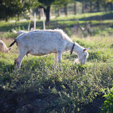 Goat chewing a grass on a farmyard Royalty Free Stock Images
