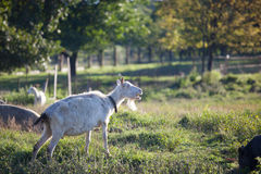 Goat chewing a grass on a farmyard Royalty Free Stock Photos