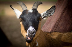 Goat chewing grass. Royalty Free Stock Photography
