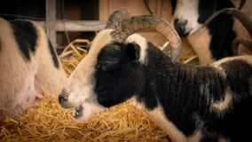 Goat Chewing Hay In Barn stock video footage