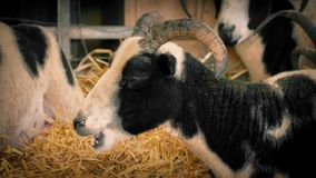 Goat Chewing Hay In Barn stock footage