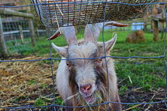Goat is chewing hay Royalty Free Stock Photography