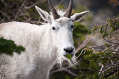 Goat chewing pine tree stick Stock Photo