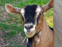 Goat Chewing Straw Royalty Free Stock Image