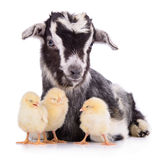 Goat and chickens Stock Image
