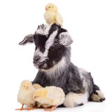 Goat and chickens Stock Photo