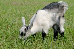 Goat child Stock Image