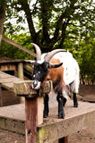 Goat in a city farm. An image of a goat resting its head on a block of wood taken in a city farm in London, England royalty free stock image