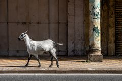 Goat in city in Goa. A goat walking on the streets of Goa in India stock photo