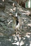 Goat in the city zoo on a bright sunny day Royalty Free Stock Photos