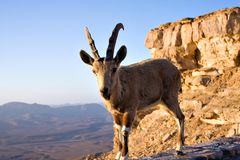 Goat on cliff Royalty Free Stock Photo