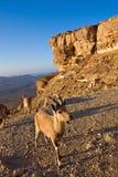 Goat on cliff Stock Photos