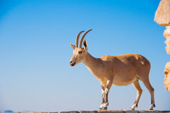 Goat on cliff Isolated Stock Image