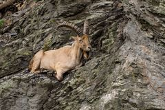 Goat on the cliff stock photos